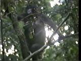 Фильм про знаменитого бонобо Канзи, который понимает человеческую речь и общается с людьми при помощи лексиграм (часть 1)